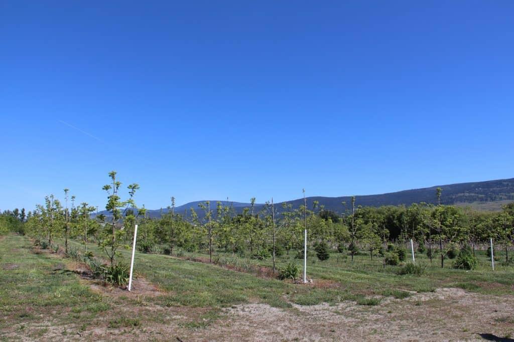 Black Walnut Orchard in Kelowna BC